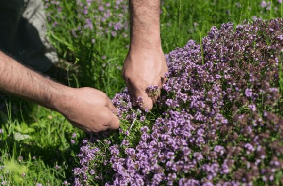 Thym : tout savoir sur sa plantation, semis, culture et entretien
