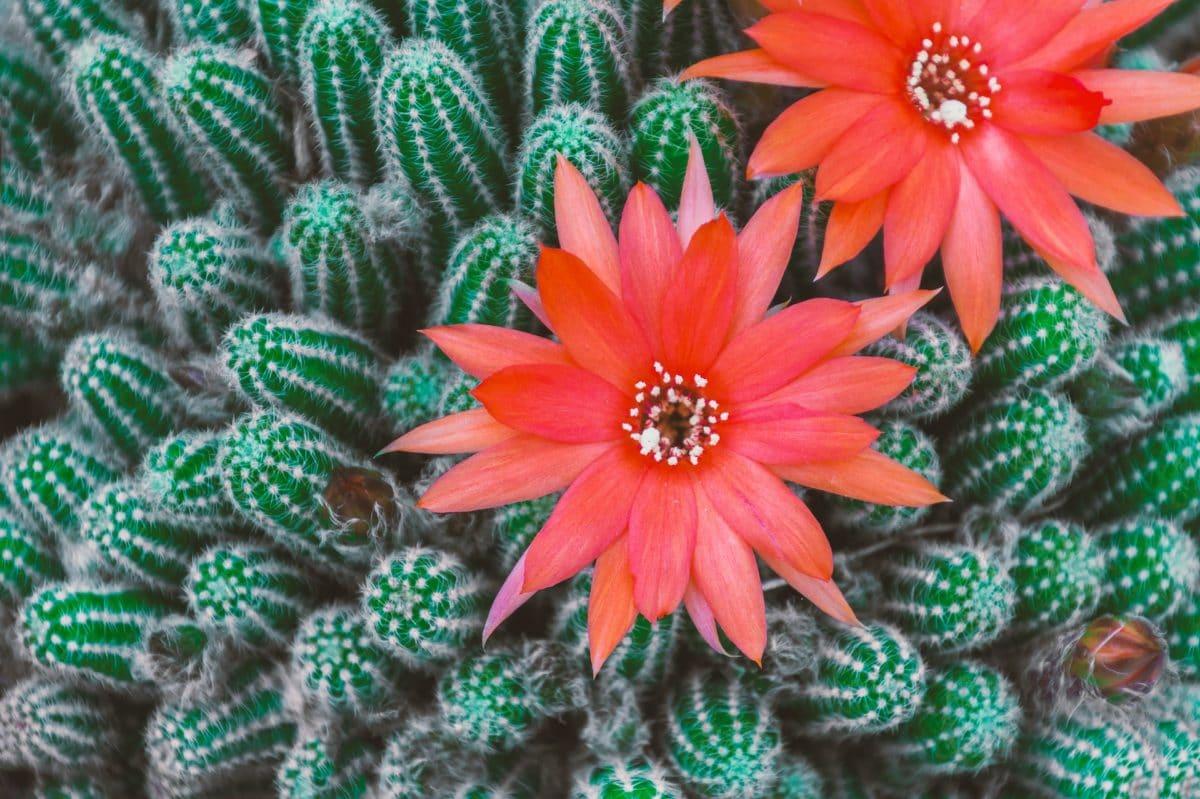 Cactus : comment le faire fleurir ?