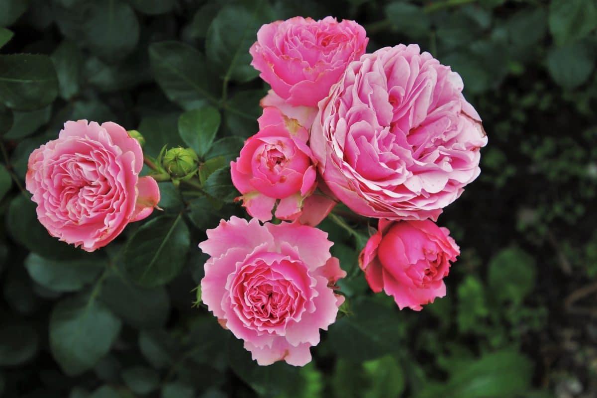 Rosier : 10 astuces 100% naturelles pour avoir de beaux rosiers